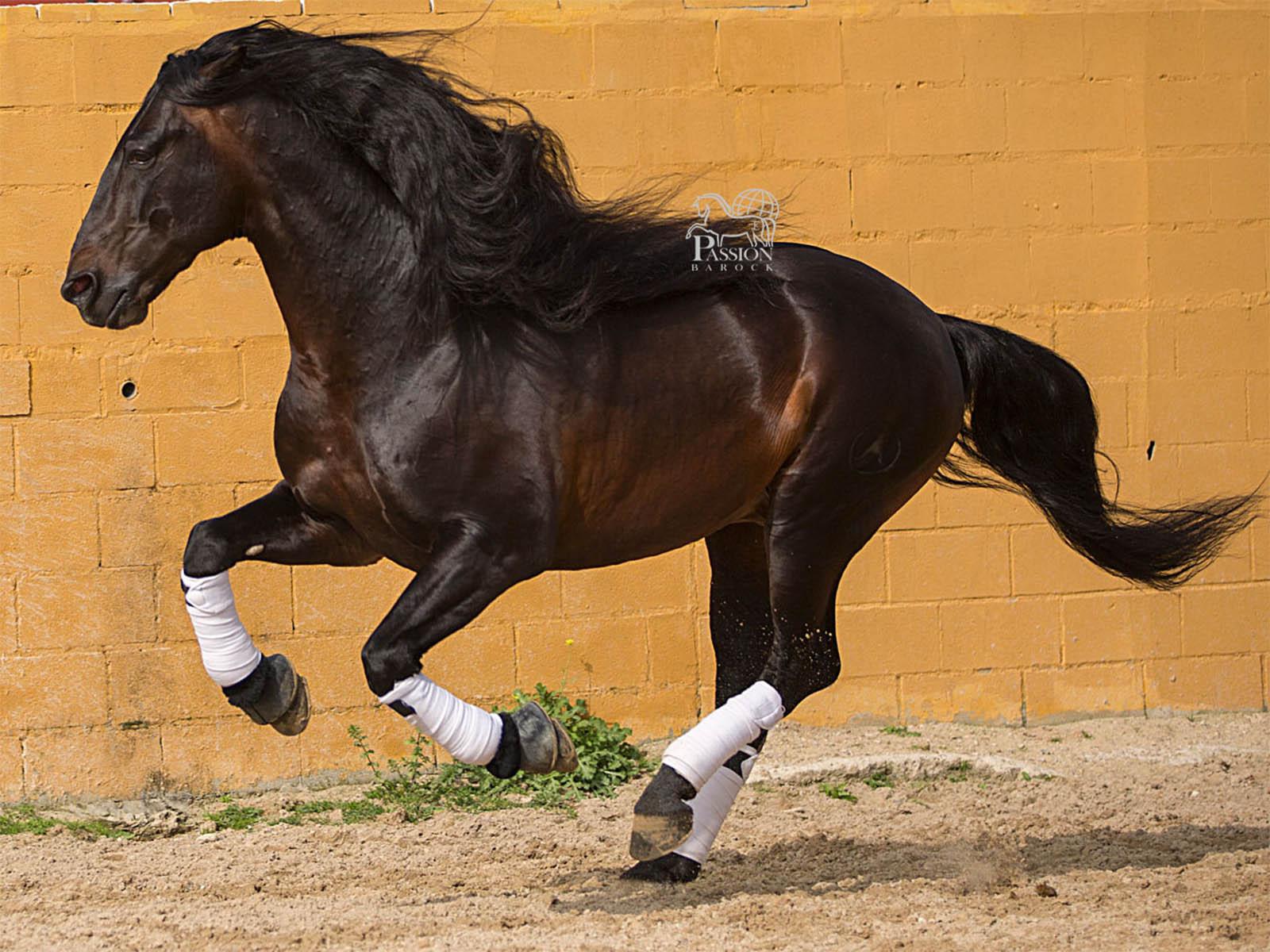 spanish-horses-PRE