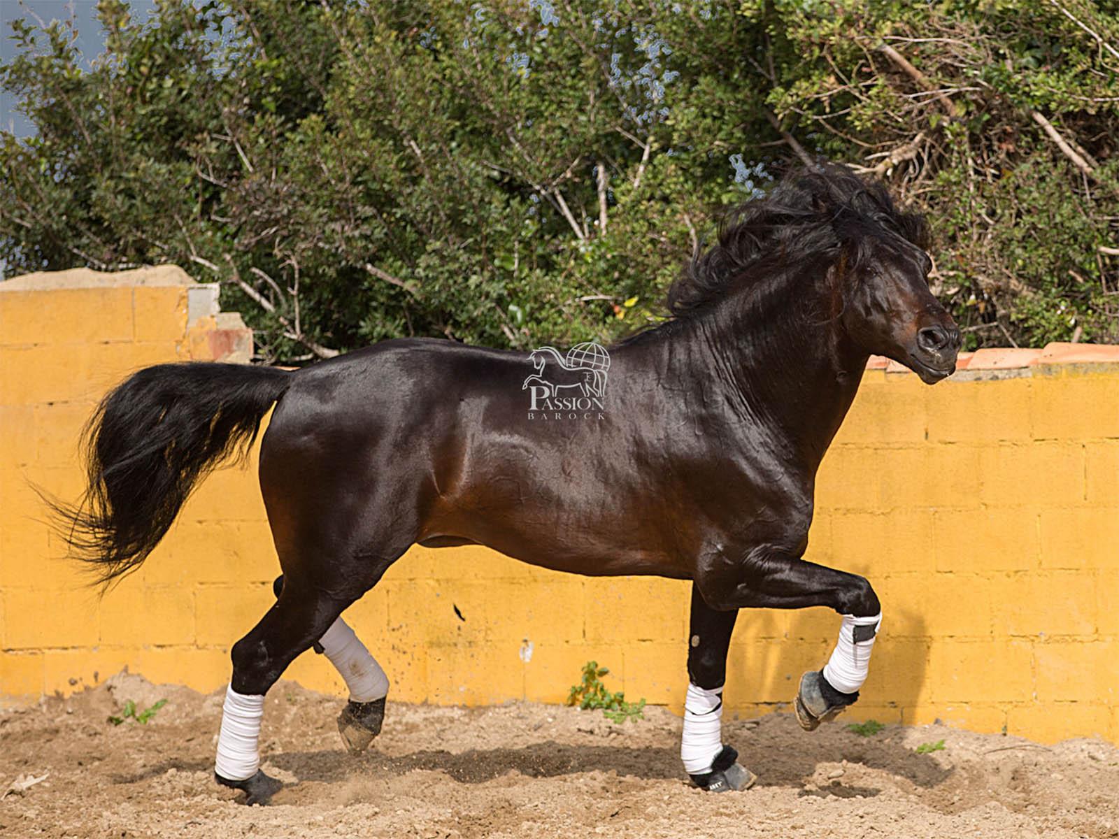pre-andalusian-buy-barockpferde-buy