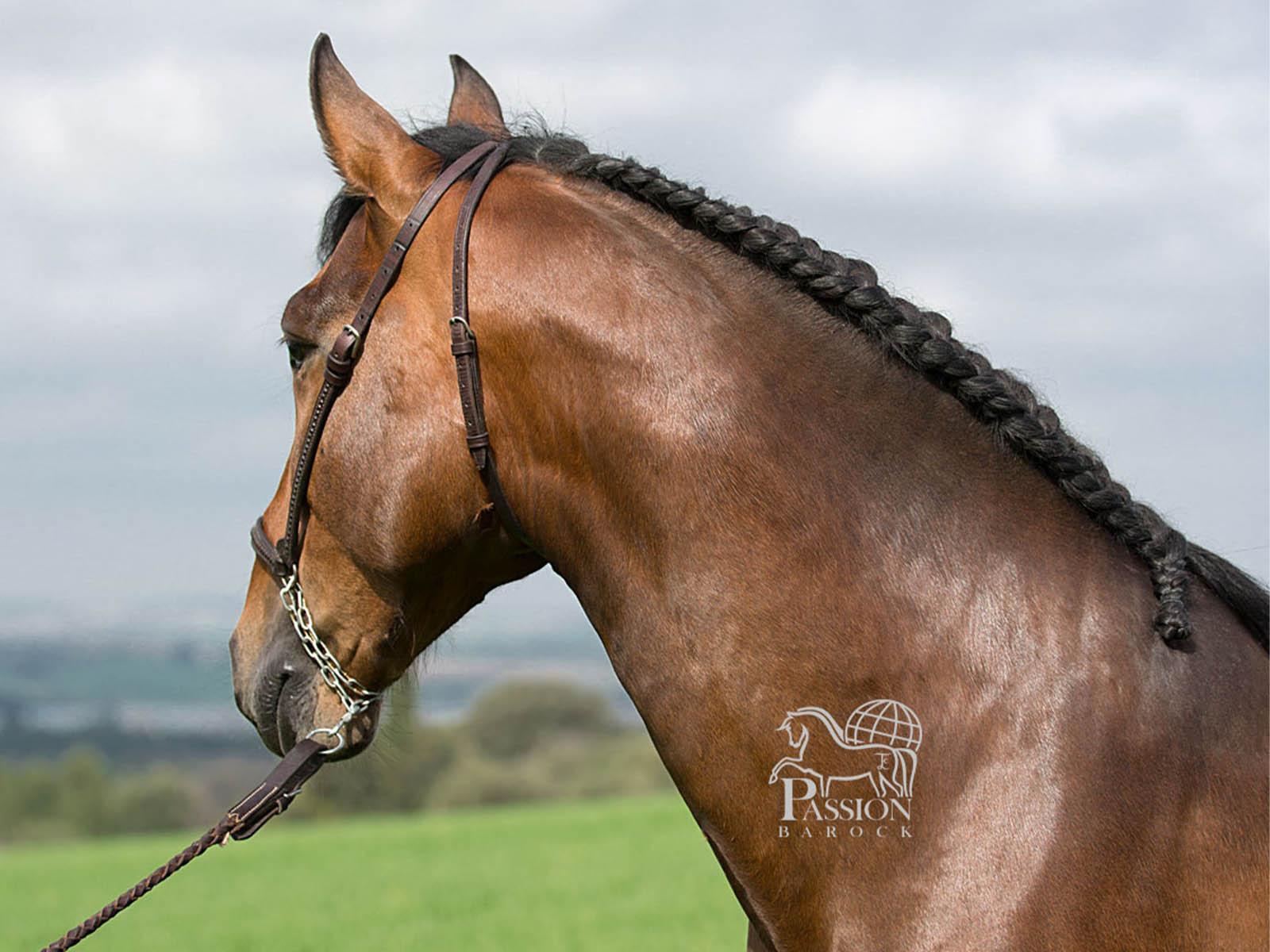 PRE-Hengst-Sabanero-spanische Pferde kaufen-Passion-Barock