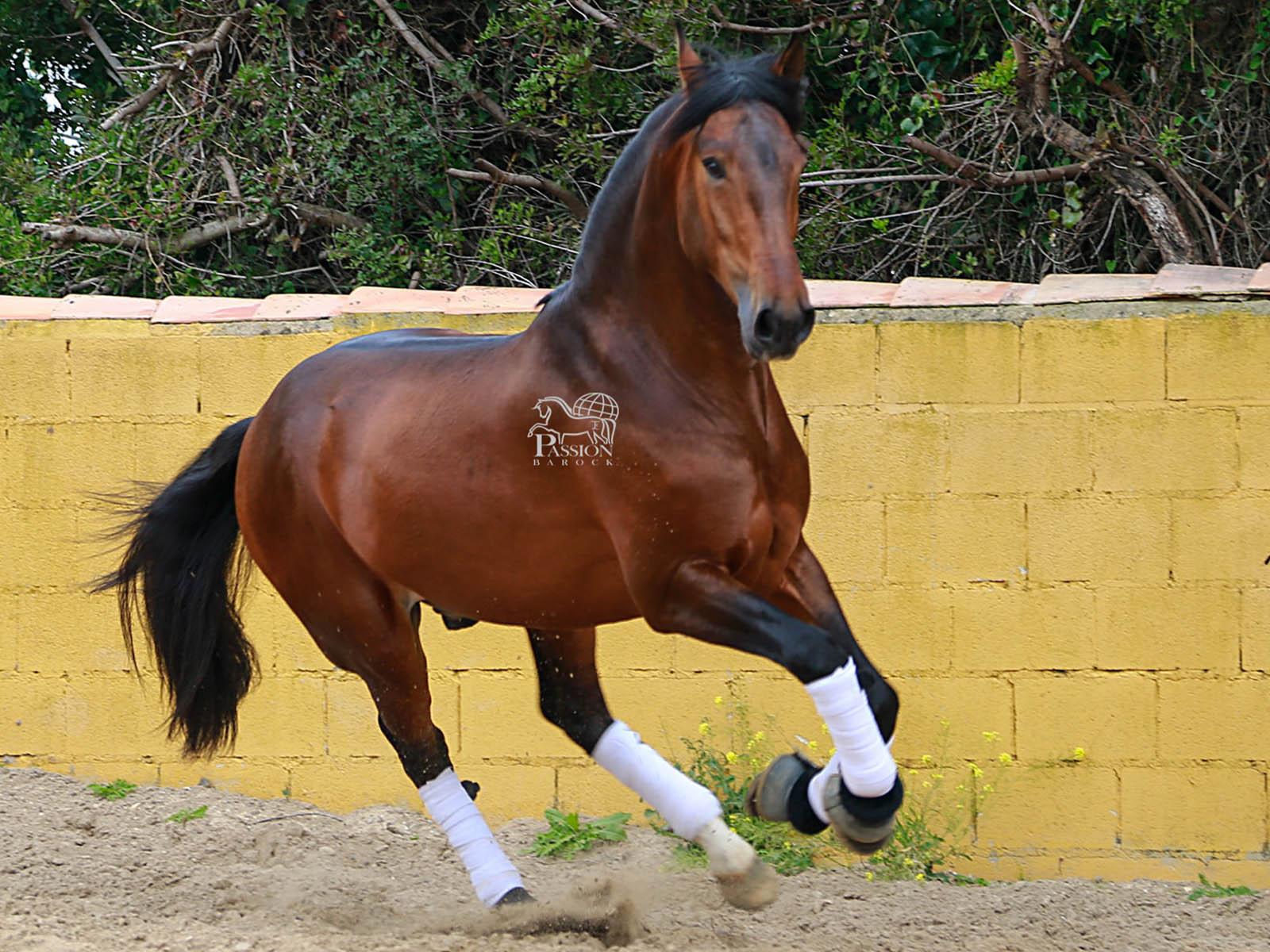 spanische Pferde kaufen-PRE Andalusier kaufen