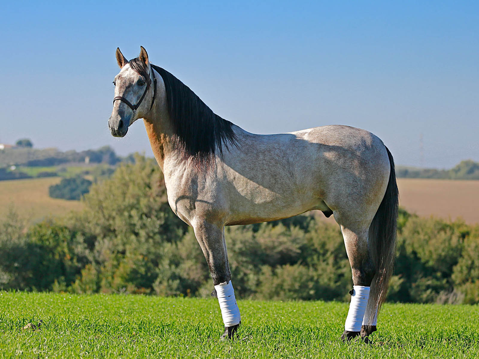 Agluacil Passion-Barock-spanische Pferde kaufen
