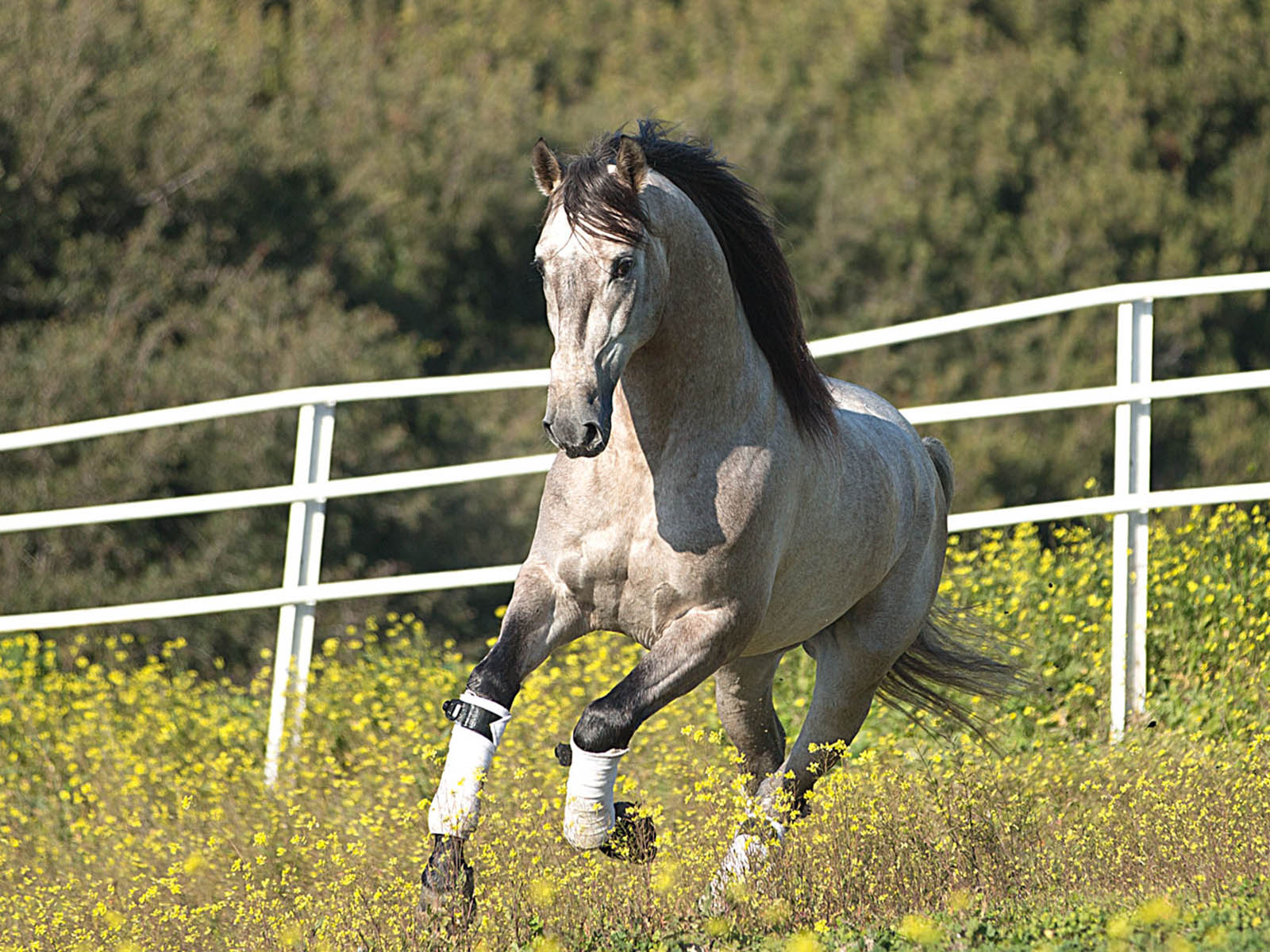 PRE-Andalusier-spanische-pferde-Agluacil-Passion-Barock