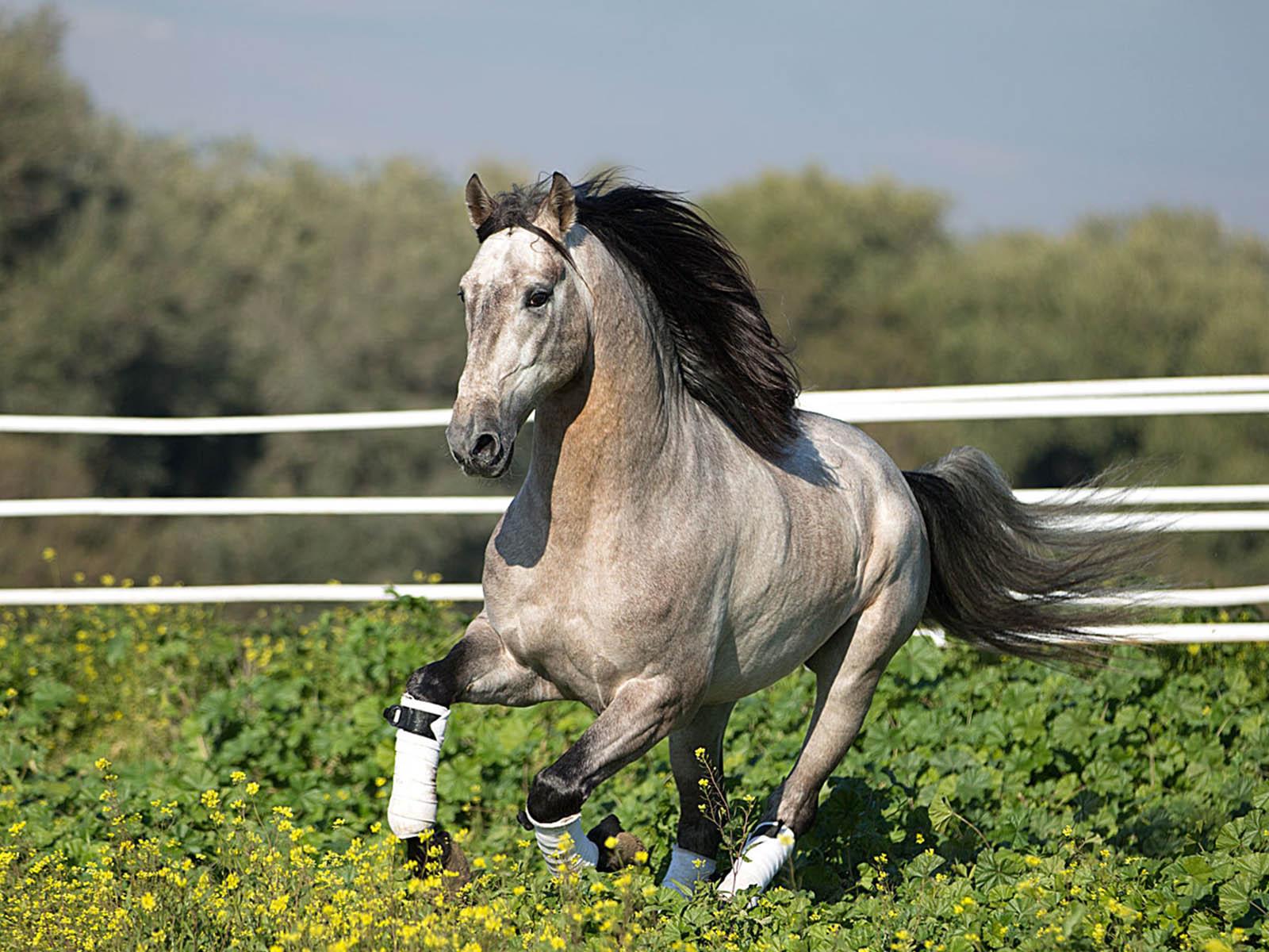 PRE-Andalusier-spanische pferde kaufen-Agluacil-Passion-Barock