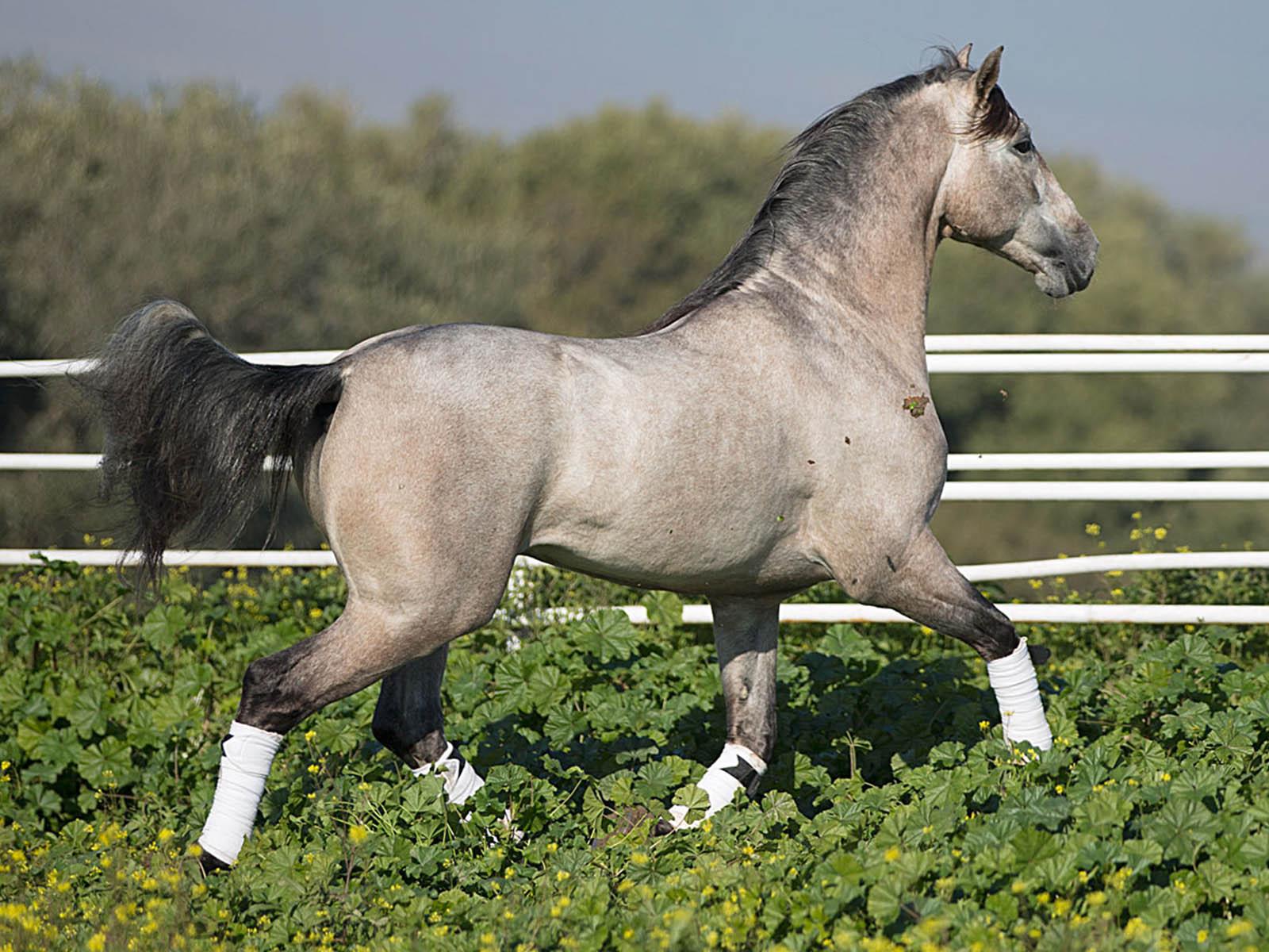 PRE-Andalusier-Agluacil-Passion-Barock-spanische Pferde kaufen