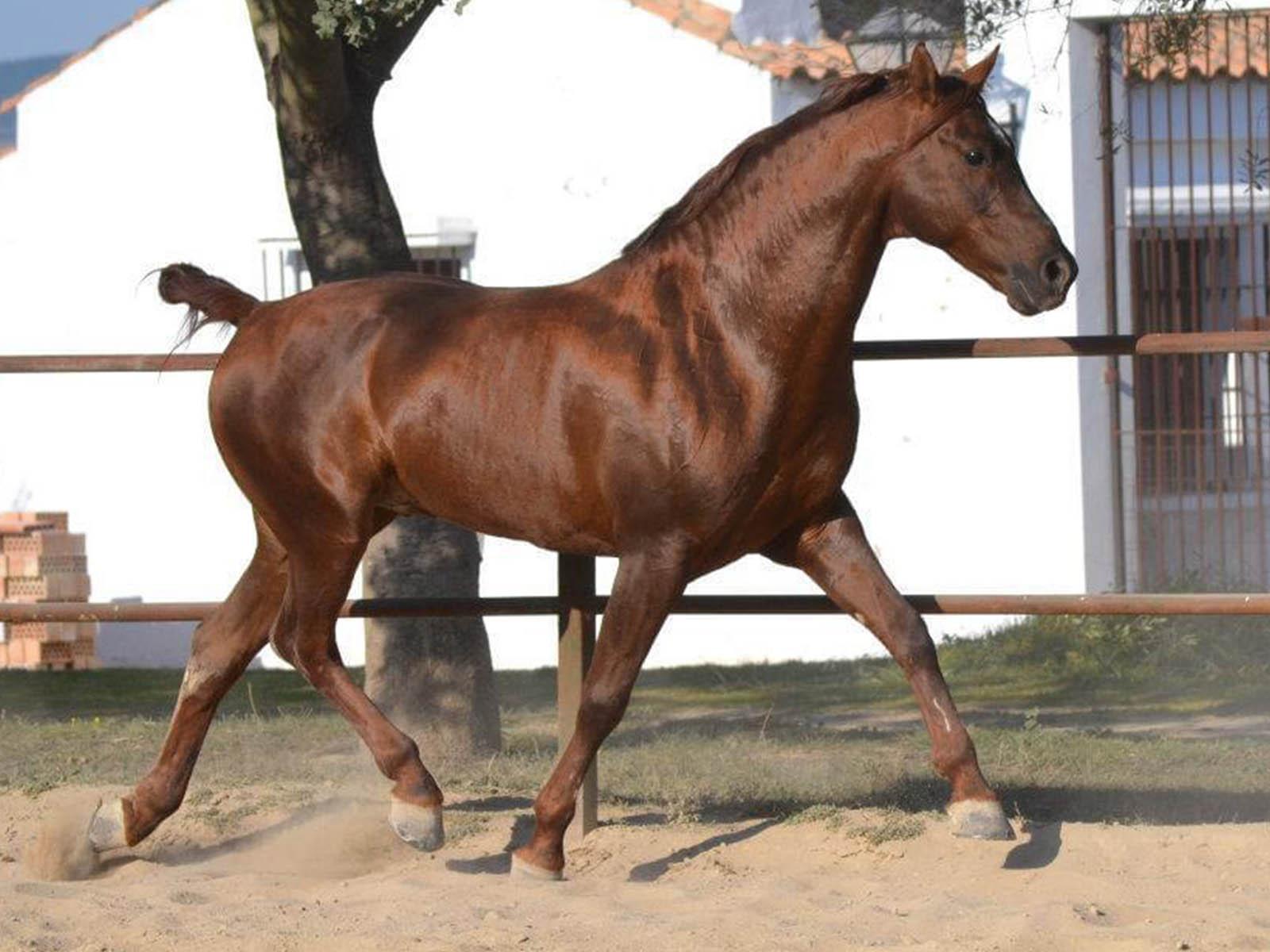 PRE-Andalusier-Verkaufspferd-Passion-Barock