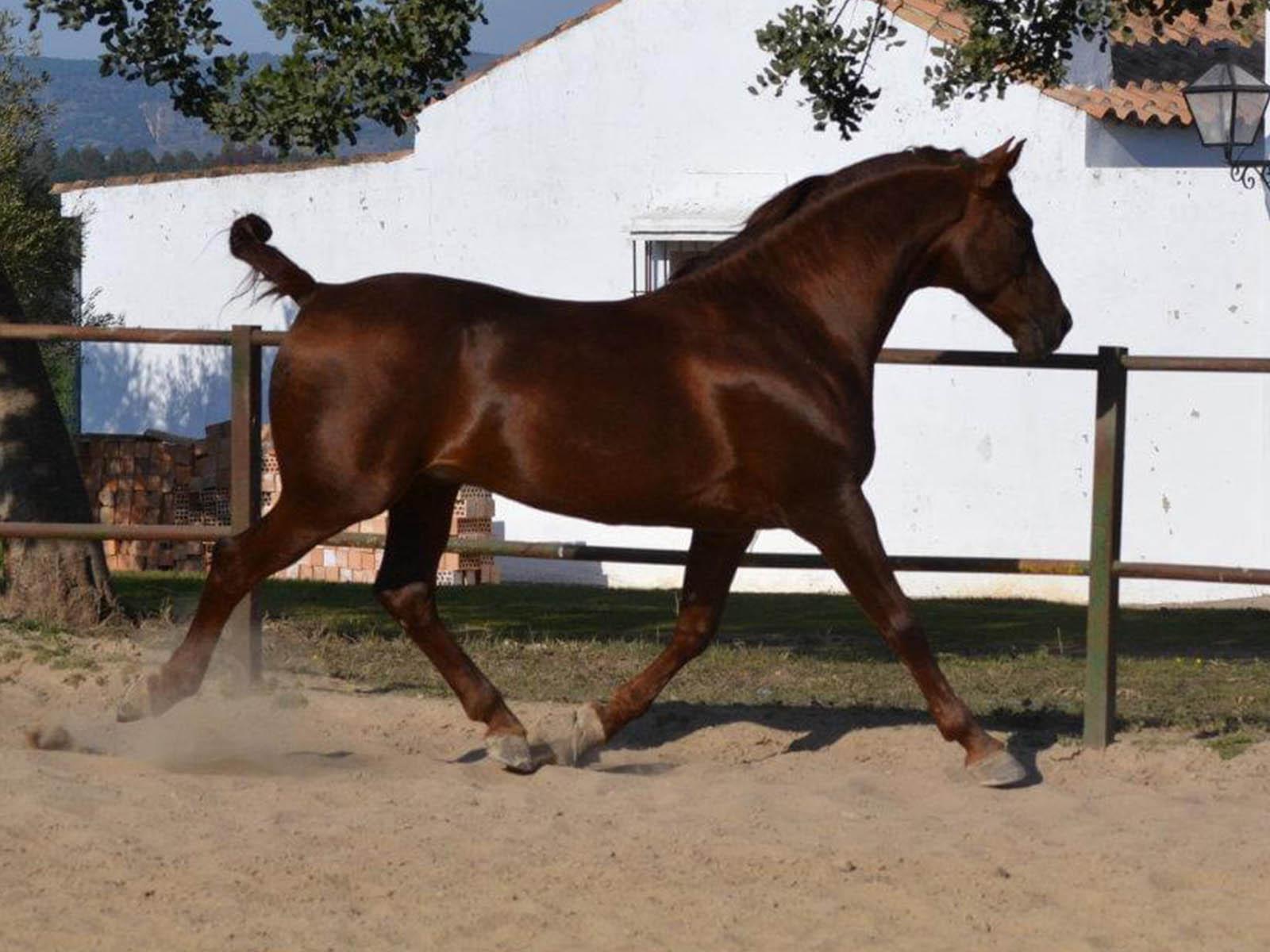 PRE-Verkaufspferd-Passion-Barock