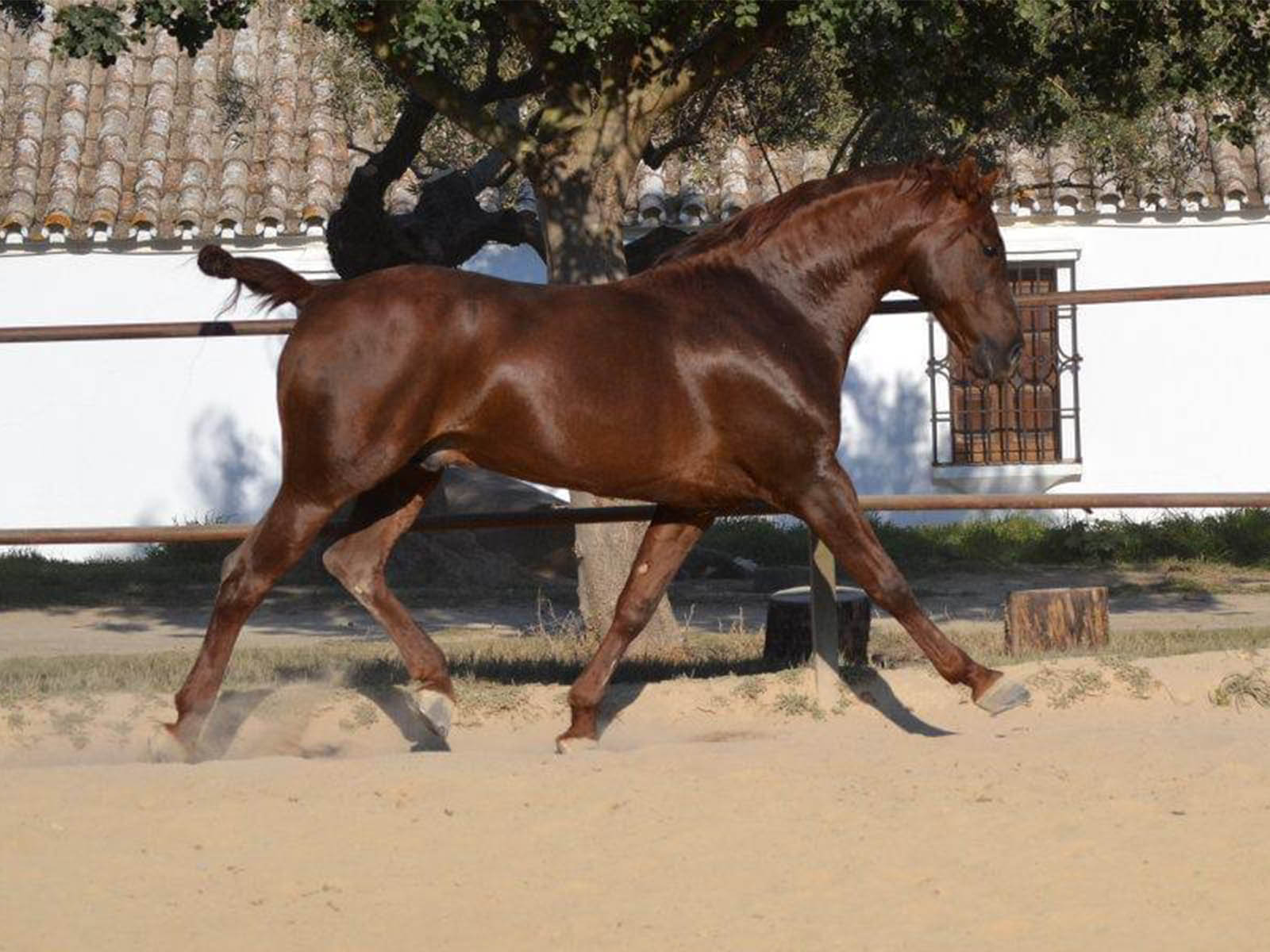 PRE-Verkaufspferd-Dante-Padre-Passion-Barock