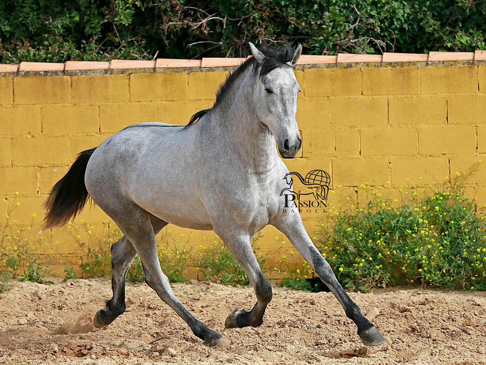 Fandanguero-passion-barockpferde PRE-spanische Pferde kaufen