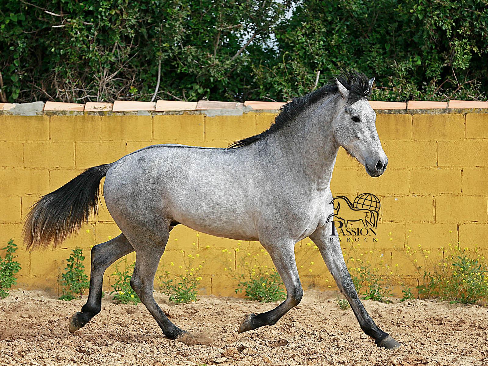 PRE-spanische-pferde-Fandanguero-passion-barock