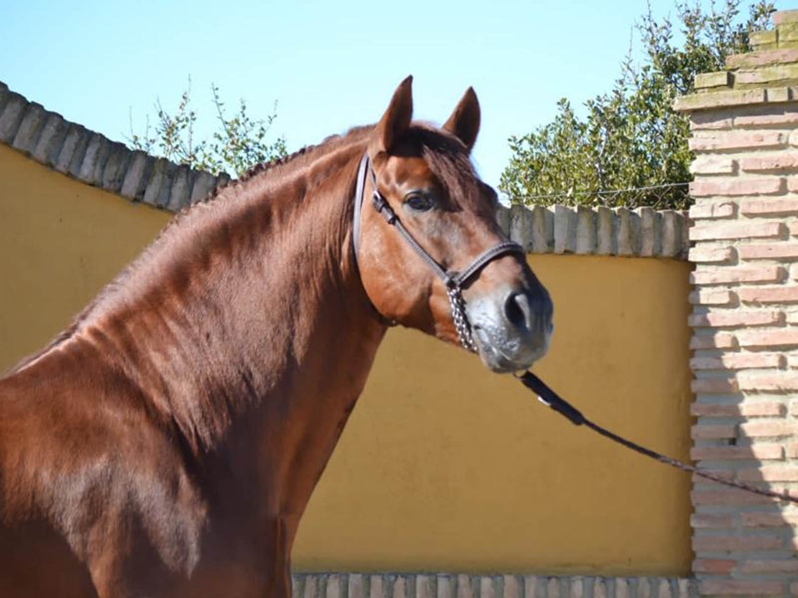 Andalusier-PRE-Impetu-Passion-Barock