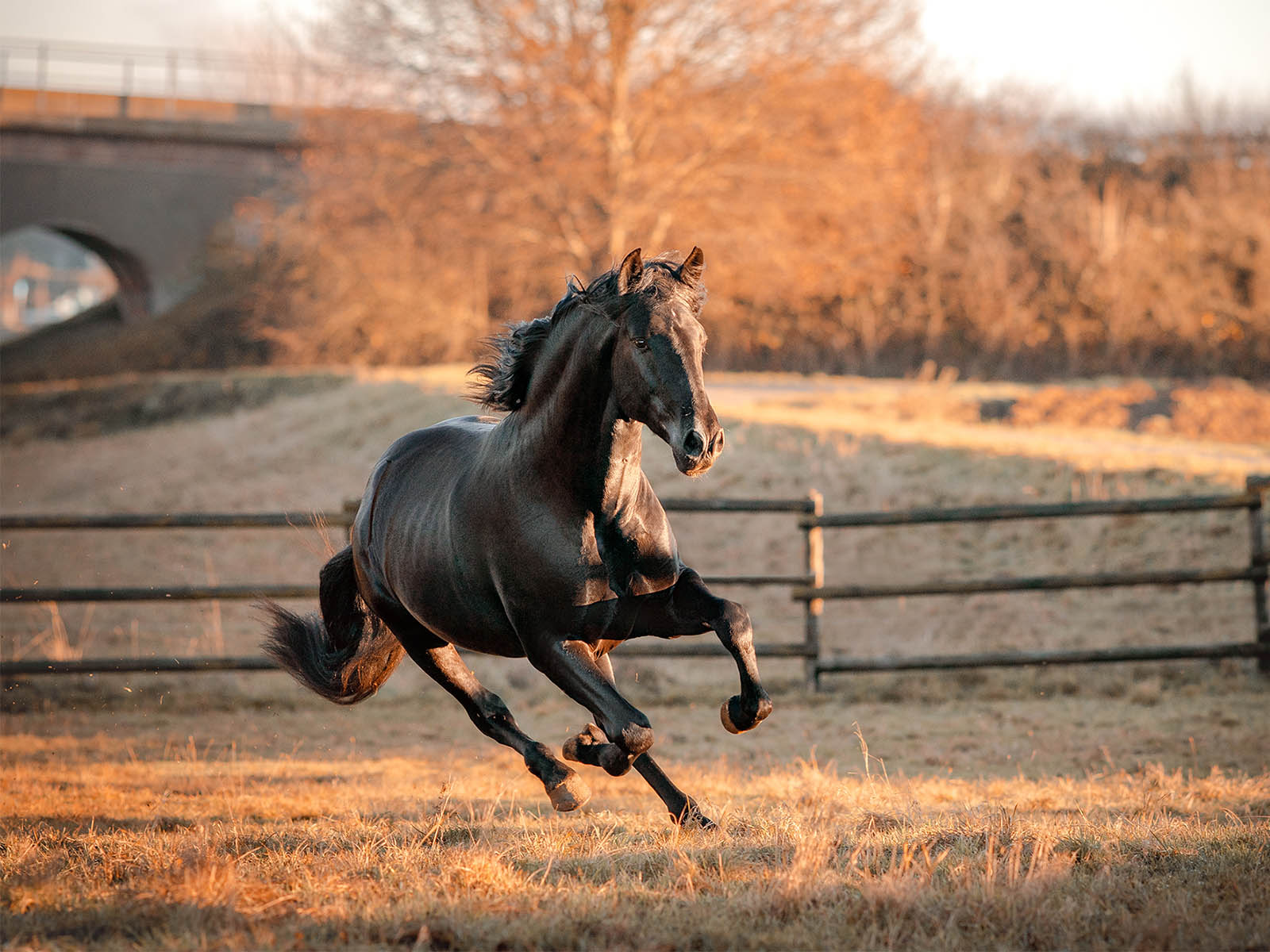 PRE-Verkaufspferd-Andalusier-schwarz
