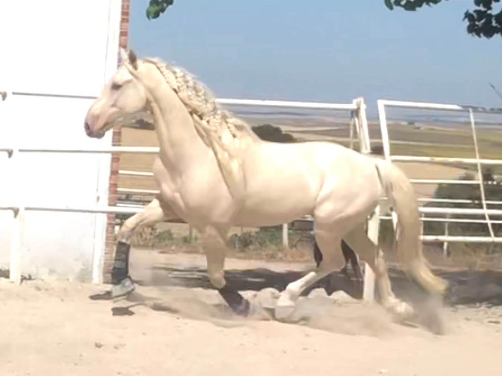 lusitano-cremello-verkaufspferde-spanien1